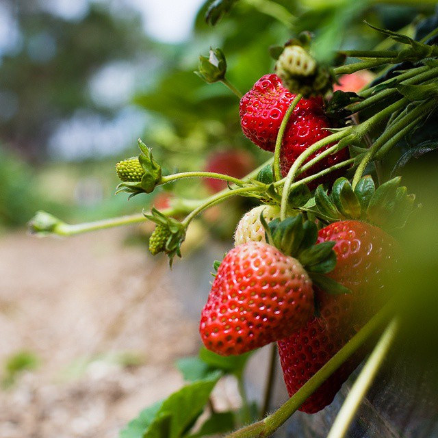 Strawberry Farm at Mahabaleshwar, Photo credit David Chau, CC BY SA-2.0